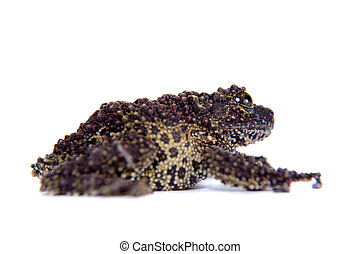 Vietnamese Mossy Frog isolated on white - Vietnamese Mossy...