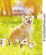 Summer photo happy dog Shiba Inu sitting on the grass