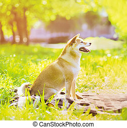 Summer photo happy joyful dog Shiba Inu sitting on the grass