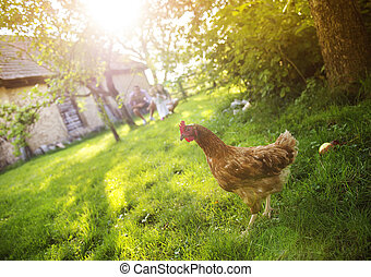 Hen in garden - Happy free hen in garden near the old...