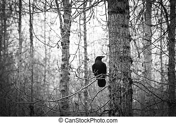 And the trees stand - Raven in a stark birch forest in late...