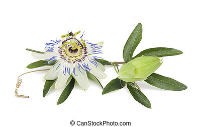 passiflora - passion flower with leaves isolated on white