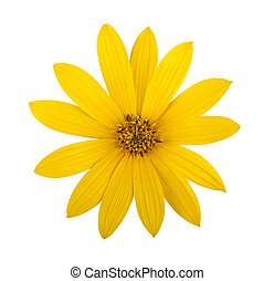 topinambur - Jerusalem artichoke flower (topinambur)...