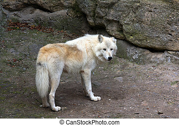 White Wolf - White wolf in the zoo watching the environment