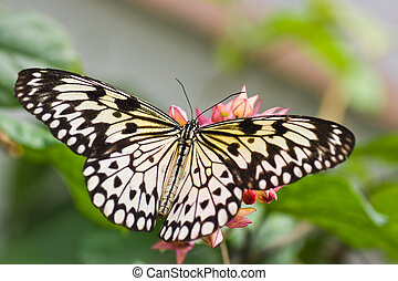 Paper Kite Butterfly or Sunburst rice paper butterfly