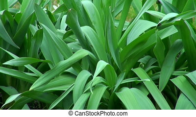 The leaves of the Tulip