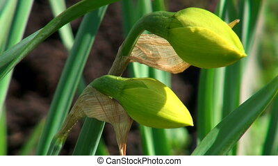 The buds of daffodils