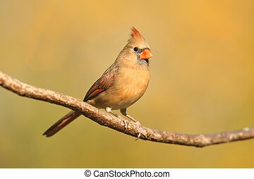 Female Cardinal On A Branch - Female Northern Cardinal...