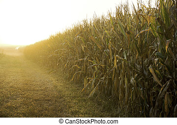Hoosier Cornfield - Sunrise over an Indiana cornfield in the...