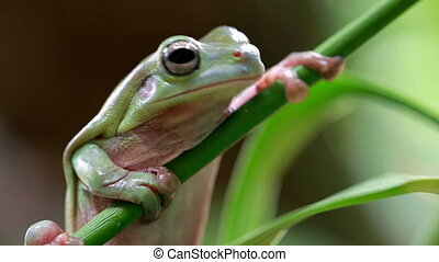 Australian Green Tree Frog on a leaf