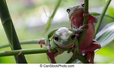 Australian Green Tree Frogs - Two Australian Green Tree...