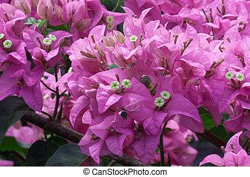 Bougainvillea flower