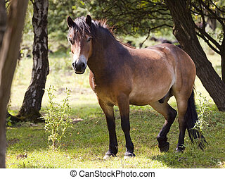 exmoor pony in forest 2 - an exmoor pony in a clearing in a...