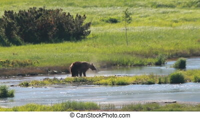 Wild brown bear in the tundra summer