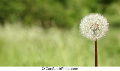 Dandelion on meadow - Dandelion blow-ball on the green...