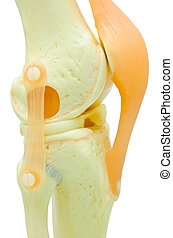 plastic study model of a knee replacement.