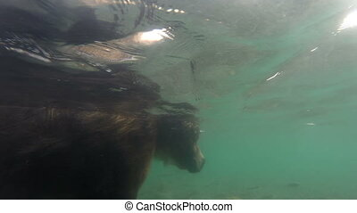 Grizzly bears fishing for salmon, underwater