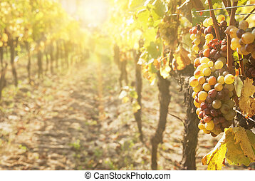 Noble rot of a wine grape, botrytised grapes in sunshine