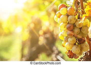 Noble, putrefacción, vino, uva, botrytised, uvas