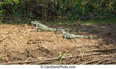 Iguanas couple in riverbank of Brazilian Pantanal - Close...