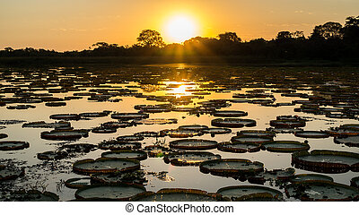 Sunset in pantanal wetlands with pond, ipe trees and...