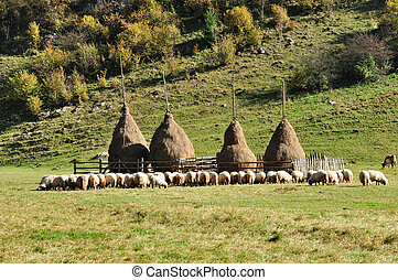 Flock of sheep and haystacks at autumn