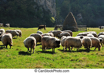 Flock of merino sheep pasture at autumn