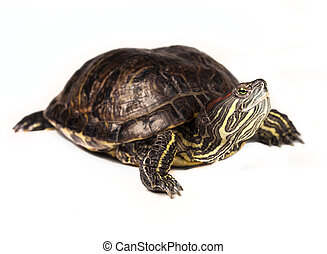 Red-eared slider isolated on a white background.