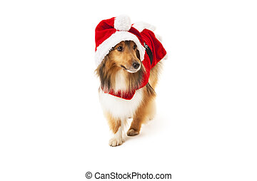 Shetland sheepdog in santa costume over white background