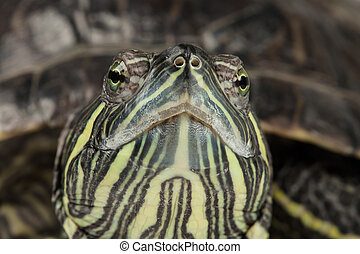 Red-eared slider - Snout of adult red-eared slider close up