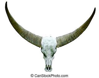 long horn buffalo skull, isolated on white