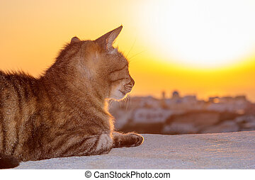 Cat watching the sunset in  Oia in Santorini