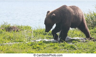 bear gnaw water hose - Brown bear gnaw a water hose
