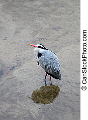 Japanese heron - wader, passing, fly, feathers, bird, hawk,...