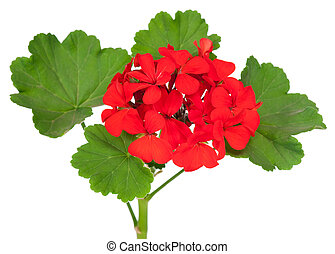 Geranium flower - The red bloom from a geranium with leaves...