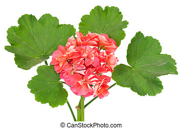 Geranium flower - The pink bloom from a geranium with leaves...