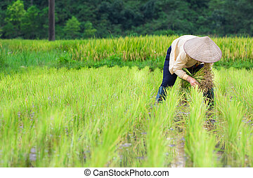 Vietnam Farmer growth rice on the field - Vietnam Farmer...
