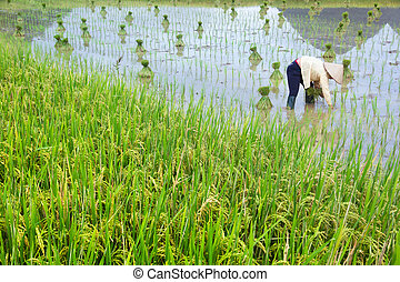 rice field of Vietnam farmer