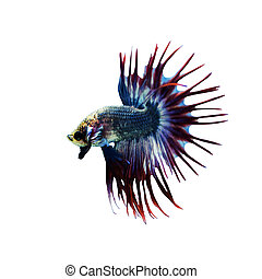 Betta Fish closeup Colorful Dragon Fish Aquarium Isolated on...