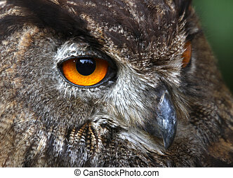 yellow eyes of an OWL at night hunting - orange eyes of an...