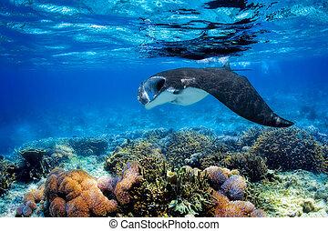 Manta Ray - Manta ray filter feeding above a coral reef in...