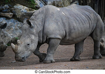 Rhinoceros taking a walk at Pairi Daiza (Belgium)