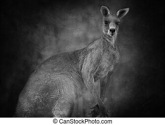 Australian kangaroo (Macropus giganteus) in black and white...