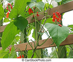 Runner beans growing on trellis - organic scarlet runner...
