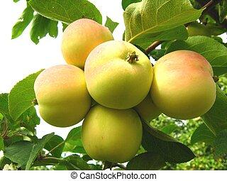 ripe apple - 5 ripe apple on the tree else