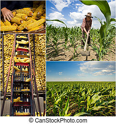 Corn collection - Collage of corn growing and harvesting...