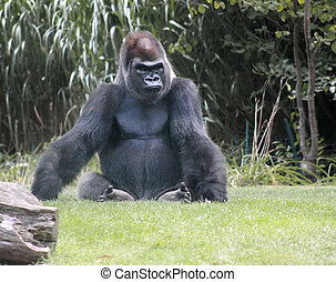 Silver-back Gorilla - A silver-back gorilla sitting on guard...