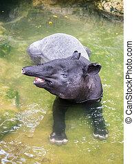 Tapir in shallow water - A smiling tapir sitting in the...