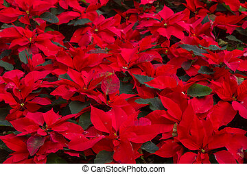 garden with poinsettia flowers or christmas star - garden...