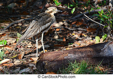 Bush Stone-curlew in Gold Coast Queensland Australia.